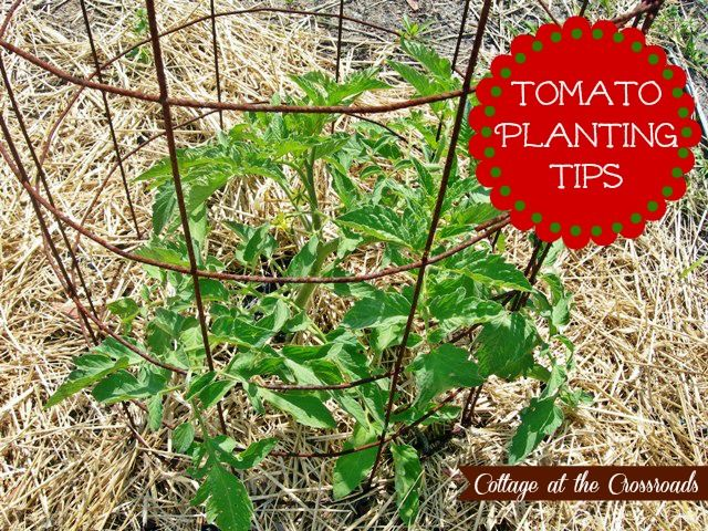 Tomato planting tips gardening pinterest for Ideas for tomatoes from the garden