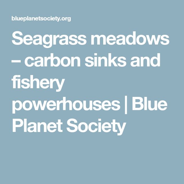 Seagrass meadows – carbon sinks and fishery powerhouses | Blue Planet Society