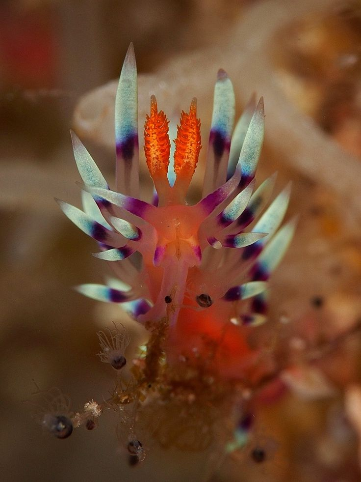 Flabellina Nudibranch . Critters @ Celebes Divers