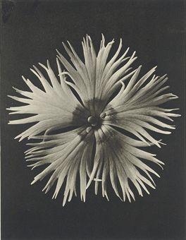 Karl Blossfeldt The magic garden of nature 1932