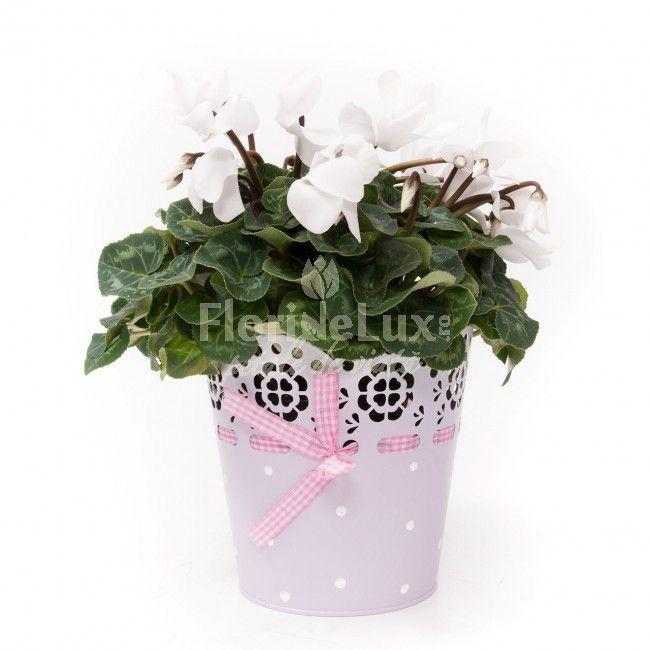Flori la ghiveci: cyclamen alb, un cadou perfect pentru iubitorii de plante cu flori colorate, usor de ingrijit si puternic decorative in orice interior. Cadou perfect pentru Paste sau Florii
