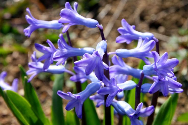 Blue Hyacinth Flower in Garden - Spring Photography - Public Domain Photos, Free Images for Commercial Use