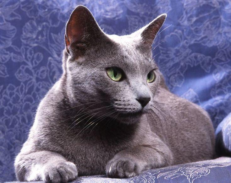 Hermoso+Gato+Azul+Ruso+Para+Descargar
