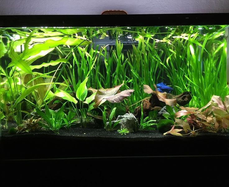 A wonderful underwater world! A well aquascapewell-planted betta aquarium! A great choice of live plants too! :) #bettatank #aquascape #plantedtank #bettaboxx