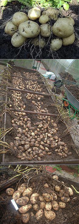 Картофель на маленьком участке.