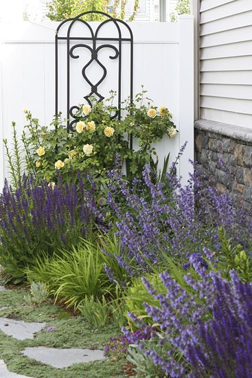 Catmint Perennial Flowering Shrub with Stella d'Oro day lily and climbing roses