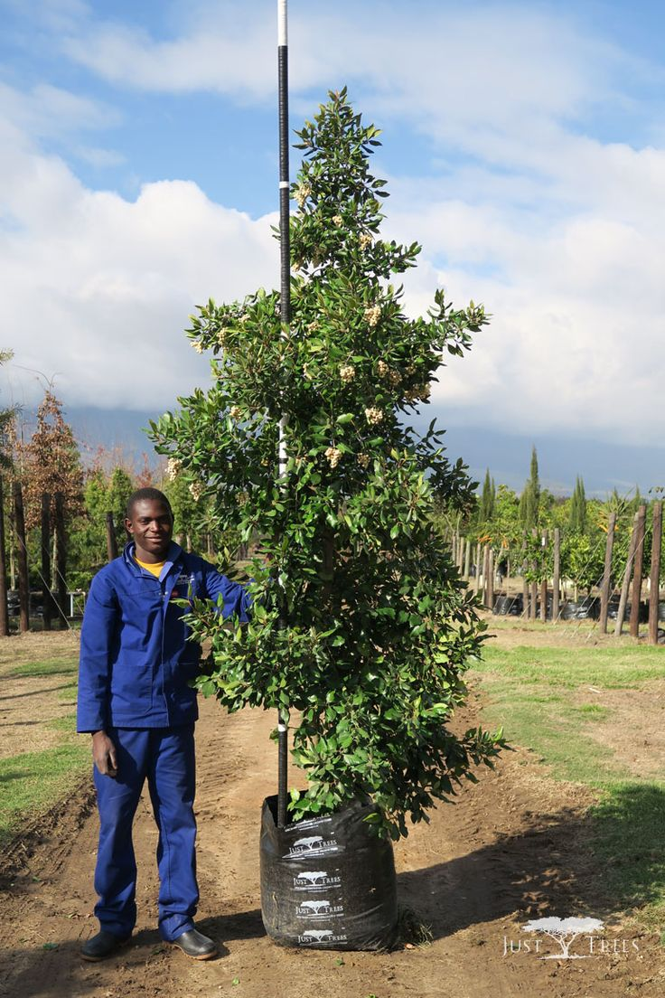 100L Curtisia dentata or Assegaai Tree, an evergreen tree with a thick, attractive foliage all year round. Fast-growing with non-invasive roots makes it a popular choice for any landscape. It has a long-lifespan and makes a very good leafy hedge or screen.
