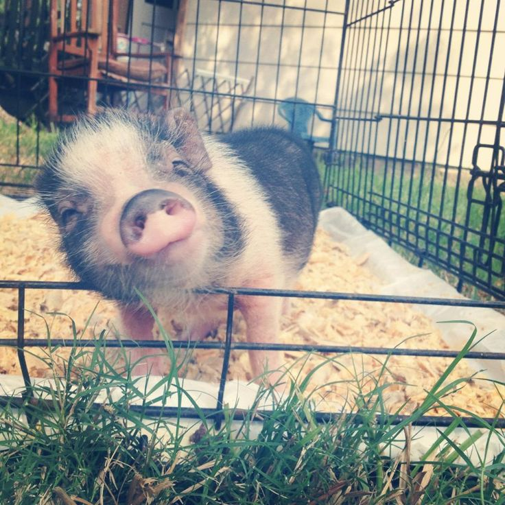 11 reasons why you need a micro pig they are cute, cuddly, sweat, amazing, adorable, great to take selfies with on ig