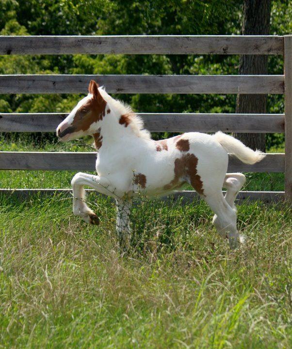 Gypsy Vanner foal.