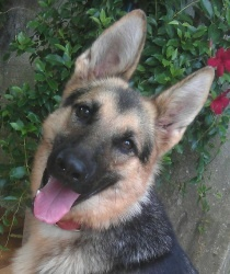 Bella is an adoptable German Shepherd Dog Dog in Georgetown, KY. Bella is one of SOAR's newest additions. She is a one year old purebred German Shepherd. She gets along with all other dogs. She is cur...
