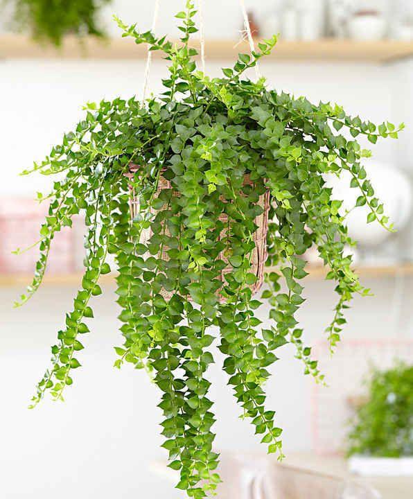 10 Plantes Retombantes d'Intérieur Indispensables à la Maison  Dischidia ruscifolia
