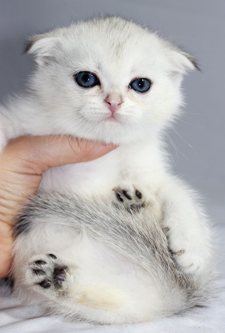 25 Best Ideas About Scottish Fold Kittens On Pinterest