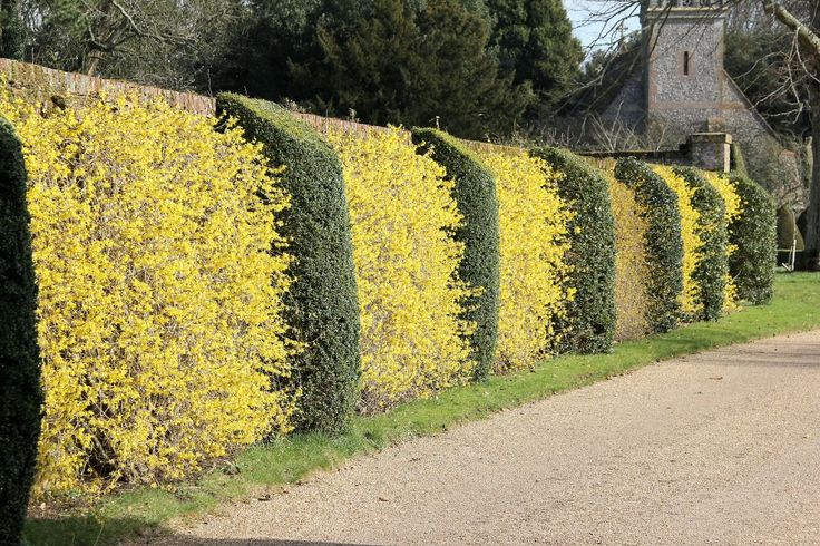 Awesome Forsythia hedge! Pergola, Landscape design