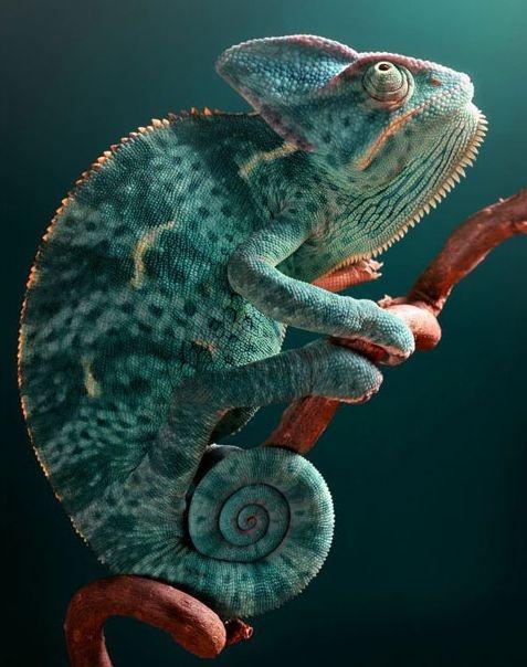Lizard turns aquamarine
