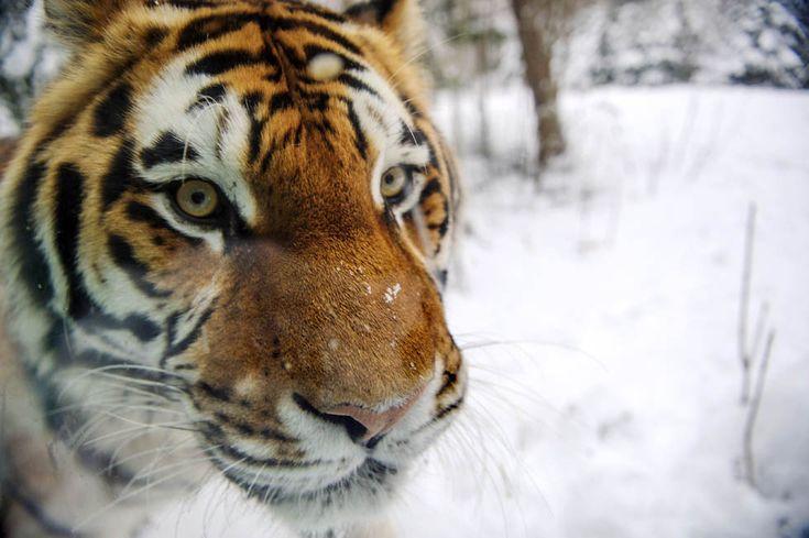 Una tigre siberiana allo zoo di Mulhouse, negli Stati Uniti (SEBASTIEN BOZON/AFP/Getty Images)