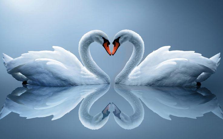 Swan Love Heart xHD Wallpaper http://www.mobdecor.com/b2b/wallpaper/219256_swan_love_heart