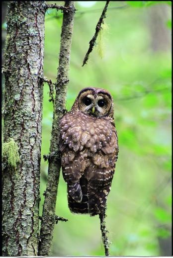 Article and call for action. 1/31/3013. Please help protect the critically endangered spotted owl by writing to provincial decisionmakers in BC—urge the provincial government to end logging in the owl's old-growth forest habitat, and let them know how important it is that British Columbia enact a provincial endangered species law!