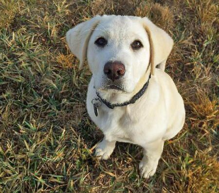 Spud the Labrador Retriever