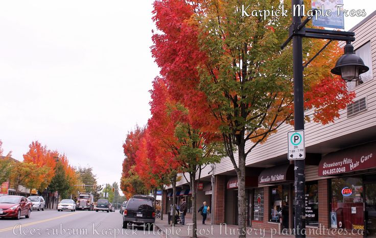 Karpick Maple Karpick maple exhibits 4 different leaf colours in the fall. Rainbow fall colouring Tree Nursery Vancouver Frost Nursery
