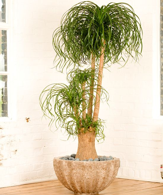 Beaucarnea recurvata ~  Ponytail Palm