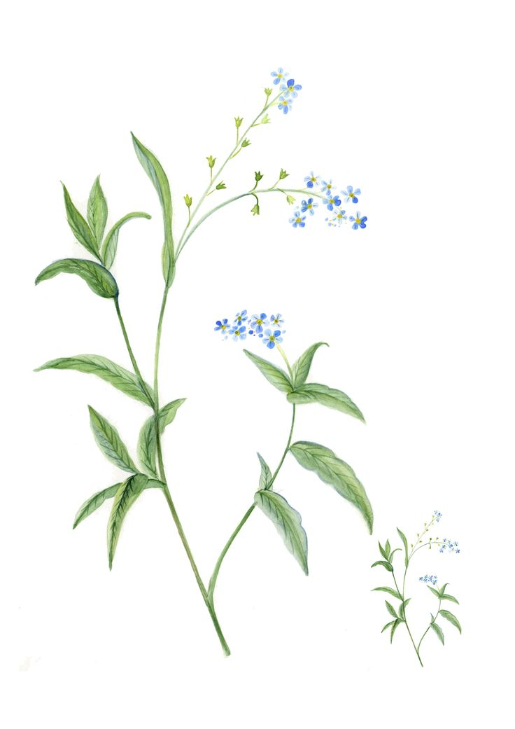 Forgetmenot hand painted watercolour illustration
