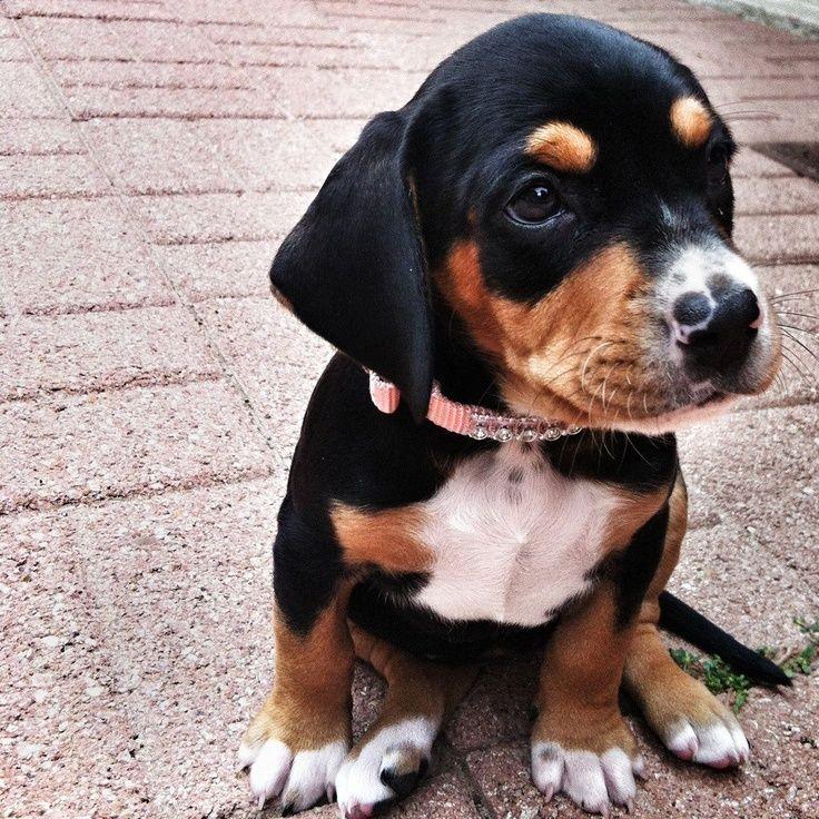 Image result for beagle lab mix