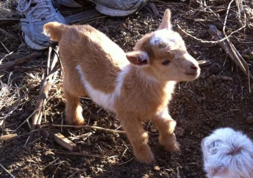 baby goat!: Cute Animal, Animals Reptiles, Animals N Al, Dreams Pet, Goats Milk, Baby Animal, Adorable, Adult Goats, Baby Goats