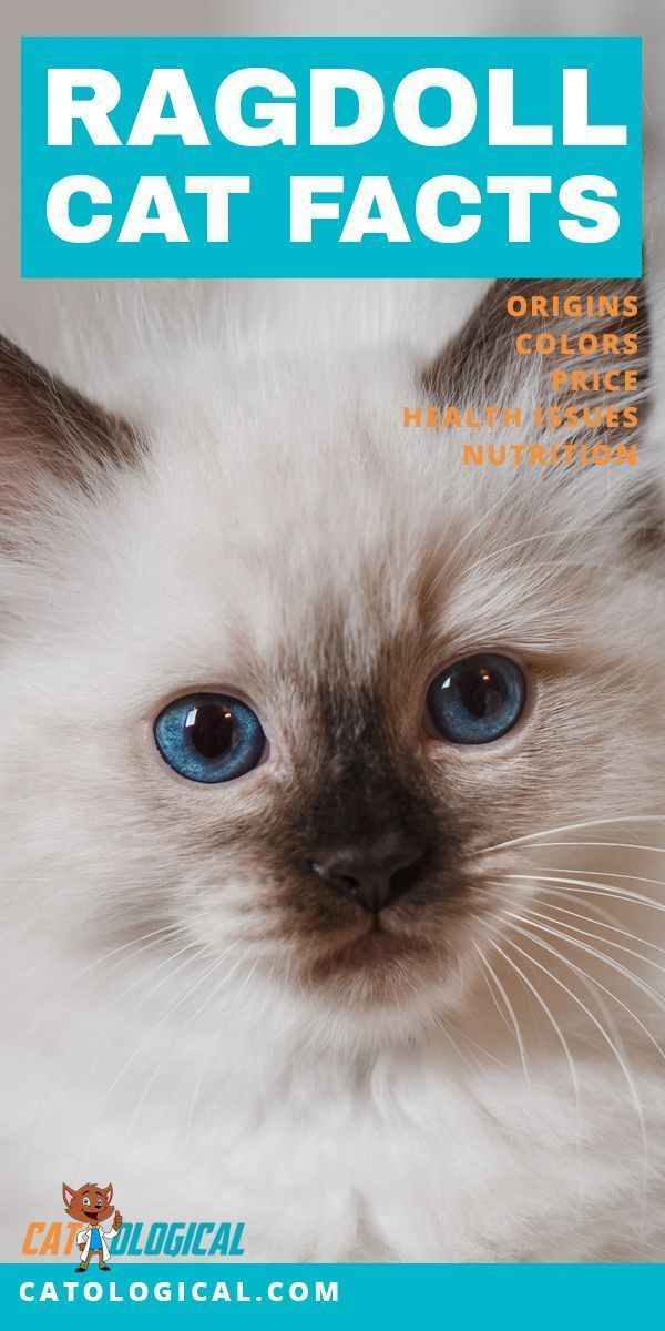 Learn Some Amazing Facts About Ragdoll Cats And Kittens We Go Through All The Important Aspects Of This Cat Ragdoll Cat Colors Ragdoll Cat Cat Breeds Ragdoll