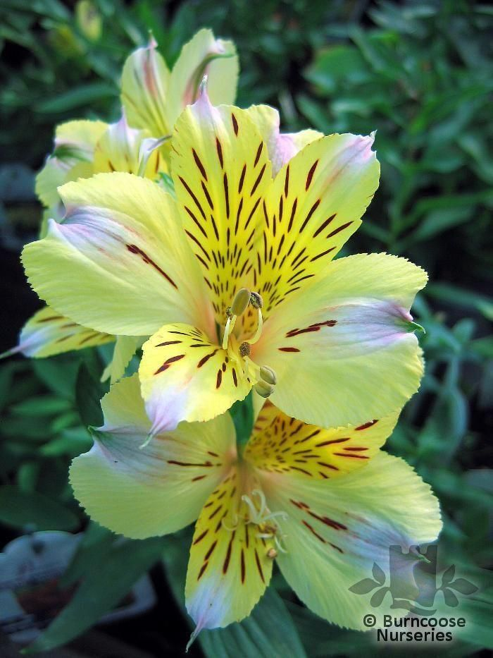 17 images about alstroemeria on pinterest white flowers little miss and biology. Black Bedroom Furniture Sets. Home Design Ideas