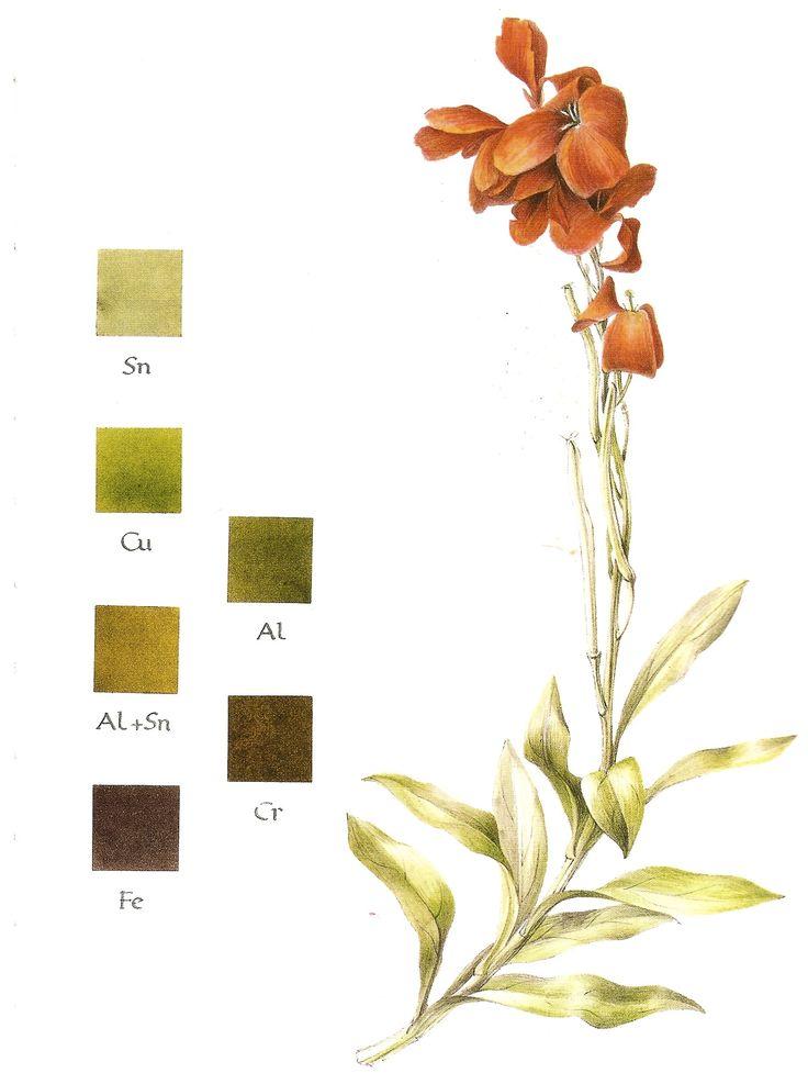 Natural dyeing: Wallflower