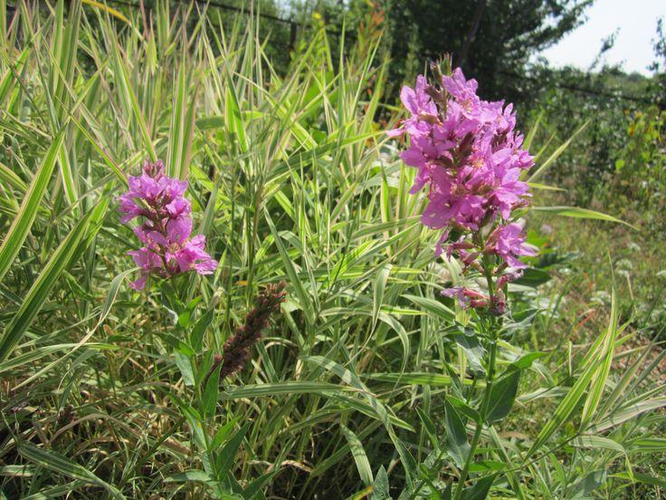 Дербенник – это многолетнее солнцелюбивое растение для открытого грунта. Оно часто встречается в дикорастущем виде, но из-за неприхотливости и красивых ярких цветов, используется как декоративное растение в оформлении садов как в регулярном, так и в природном стилях.
