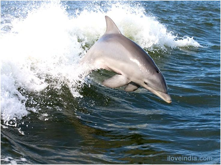 Fun+Facts+About+Dolphins   10 interesting facts about DOLPHINS -