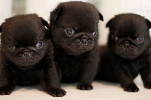 Cute Fat Baby Wallpapers Cute Black Pug Puppies Pug Puppies Pugs Baby Pugs