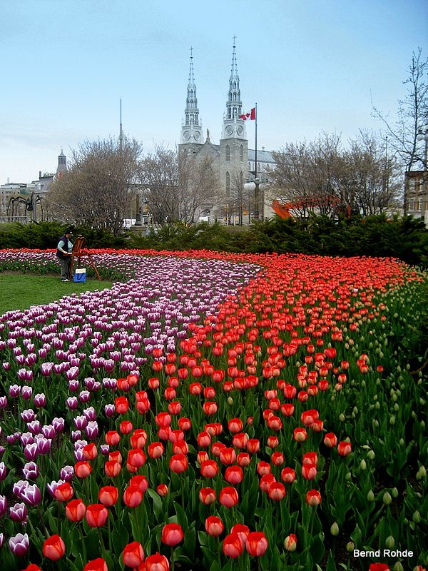 "Annual Tulip Festival, Ottawa...the tulip bulbs arrive from Holland/The Netherlands each year as a gift to Canada for giving sanctuary to Dutch Royal Family during WW II. Queen Juliana was born in Canada: in a hospital room that was designated ""Sovereign Dutch Territory"" so Juliana would be a Dutch citizen."
