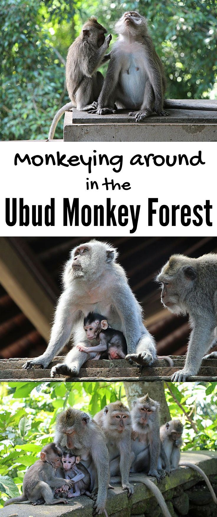 UBUD, Bali   A lot of monkey business goes on at the Sacred Monkey Forest Sanctuary in Ubud, Bali. The shady forest is the jungle home to three 11th-century holy temples and over 550 cheeky long-tailed macaque monkeys. Watch your things (because the monke