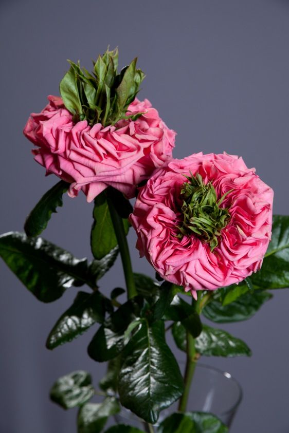 "the new ""Rive Gauche"" rose ~"