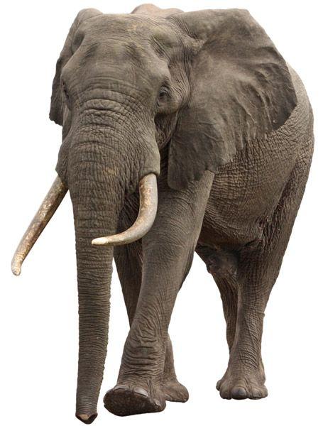 Bien-aimé 59 best Elephant images on Pinterest | Elephants, War elephant and  ZA46