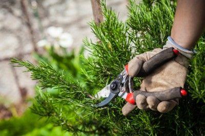 pruning rosemary