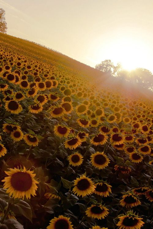 sunflowers are equivalent to happiness