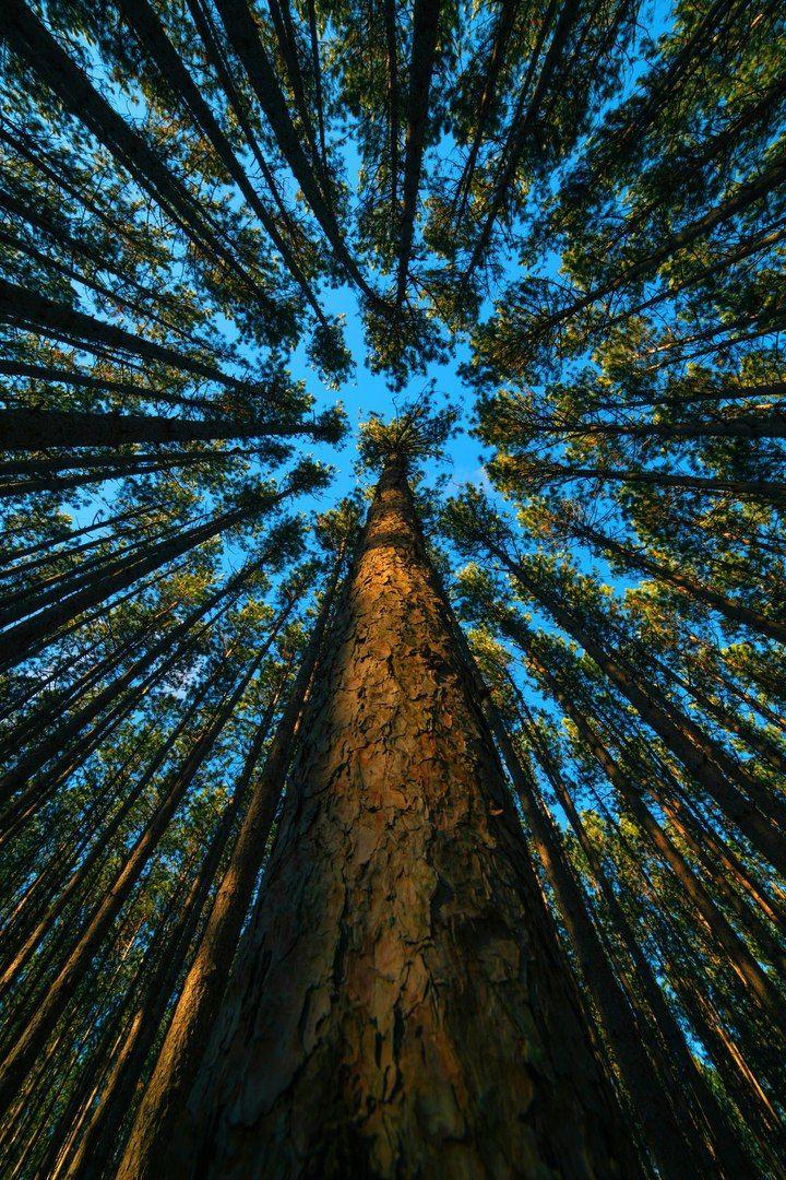 Сосновый лес в Огайо