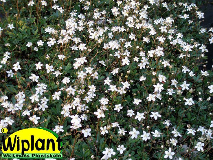 Potentilla tridentata 'Nuuk', grönlandstok. Grönländsk marktäckare. Vintergrön, Massor av vita små blommor i juni. Yngre plantor under häckväxter. 0,2 m hög.