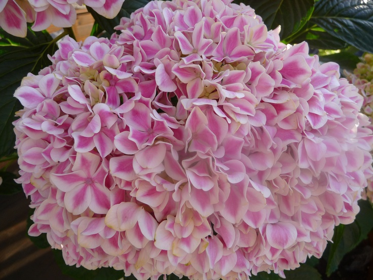 """Peppermint Patty"" hydrangeaa special release in '09. I"