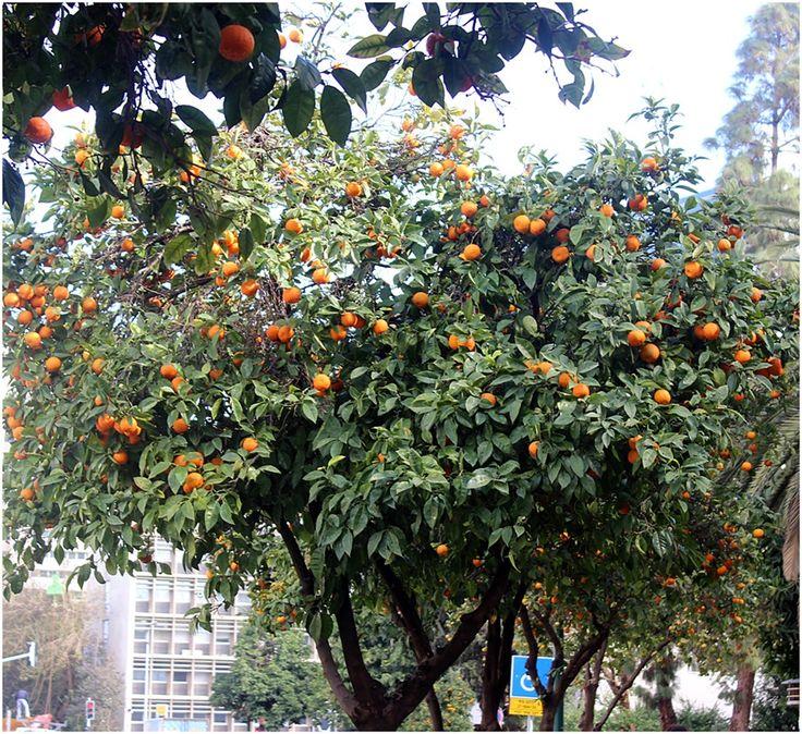 An orange tree in Laskov street