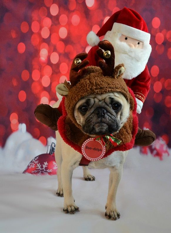 Boo Dolph The Red Nosed Reindeer Pug Christmas Rudolph Dog