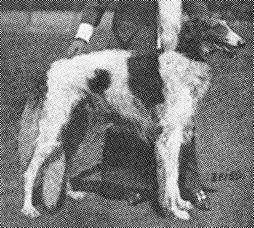 Ch. Asmodey Perchino Armavir (Perchino) x Jalta (Perchino) B: Großfürst Nikolas Nikolajewitsch, Perchino/RUS O: Dr. E. Wegener, Chemnitz