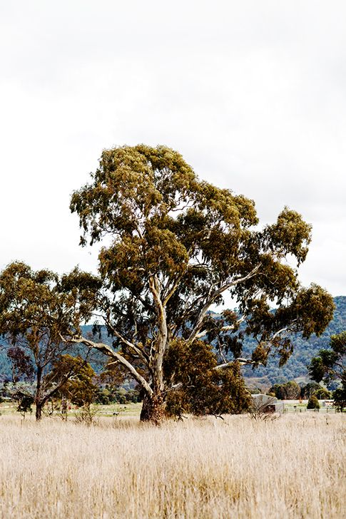 'Gum Tree' Photographic Print © Kara Rosenlund