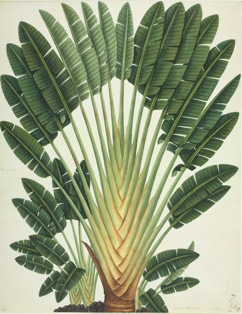 John Reeves Collection, Travellers palm, 1812-31. Chinese botanical drawings. National History Museum, London.