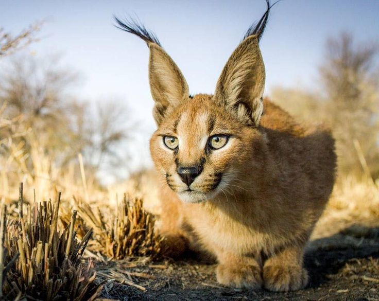 A magnificent caracal cat!