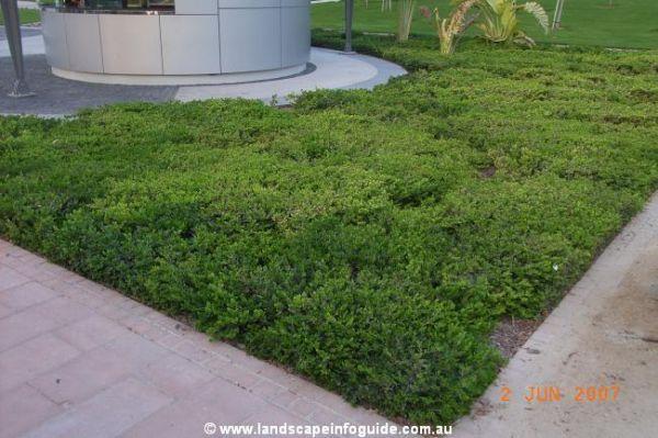 Carissa Green Carpet Plant - Carpet Vidalondon
