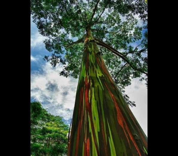 Eucalipto arco-íris em Kanui, HavaíReprodução - DR
